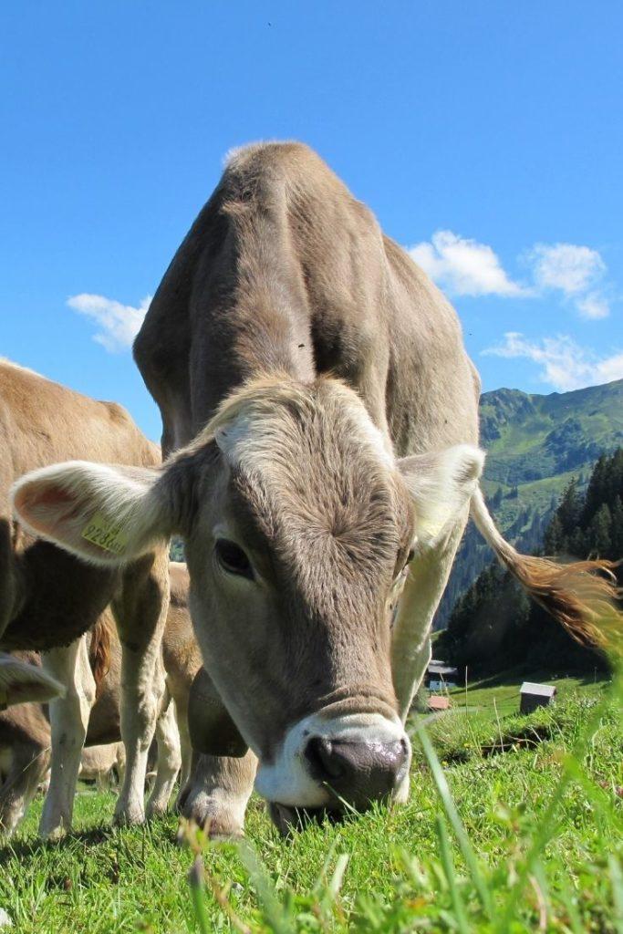 austria-oesterreich-cow-kuh-alm