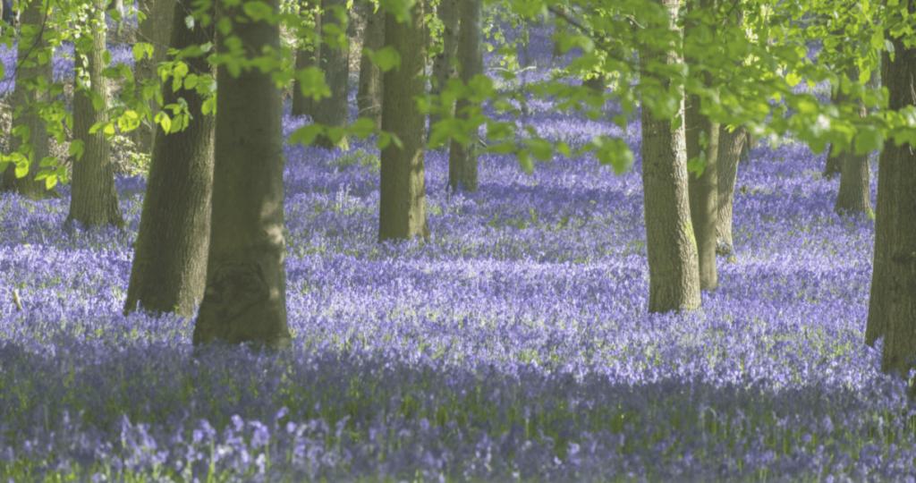 bluebell-woods-surrey-bloom-uk-england