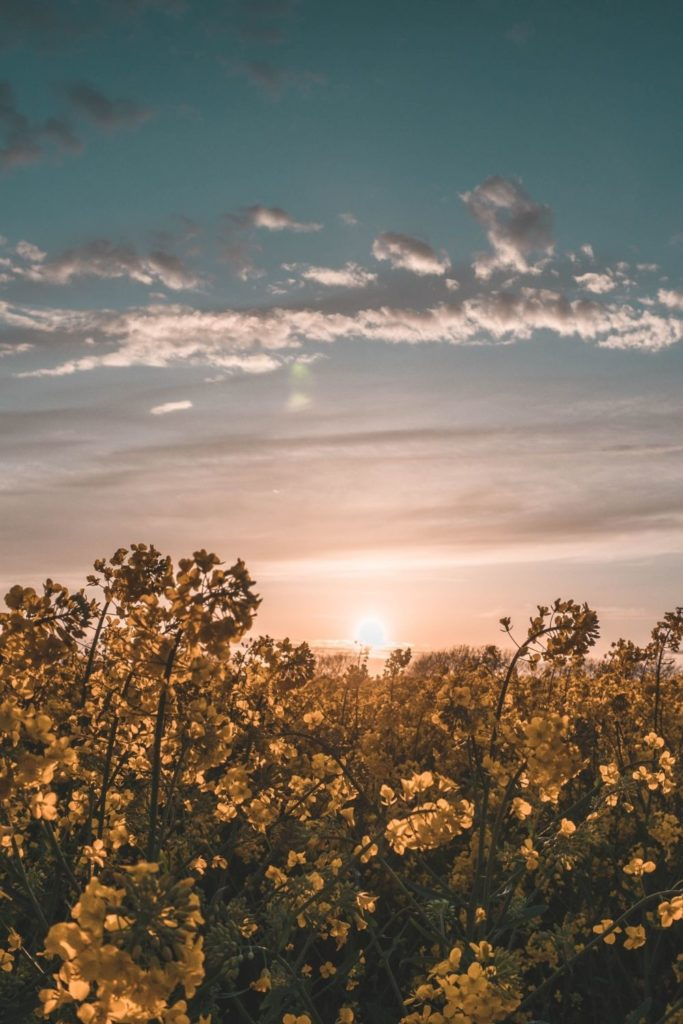 blumenfelder-canola-rapsfeld-sunrise-flowerfield