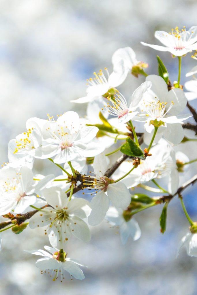 blumenfelder-cherry-blossom-kirschbluete-washington