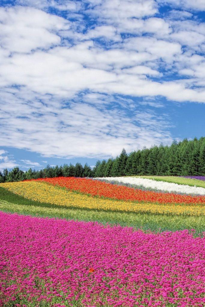 blumenfelder-flowerfield-rainbow-blossom-spring-fruehling