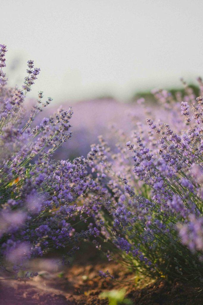 blumenfelder-lavender-lavendel-details-flowerfield