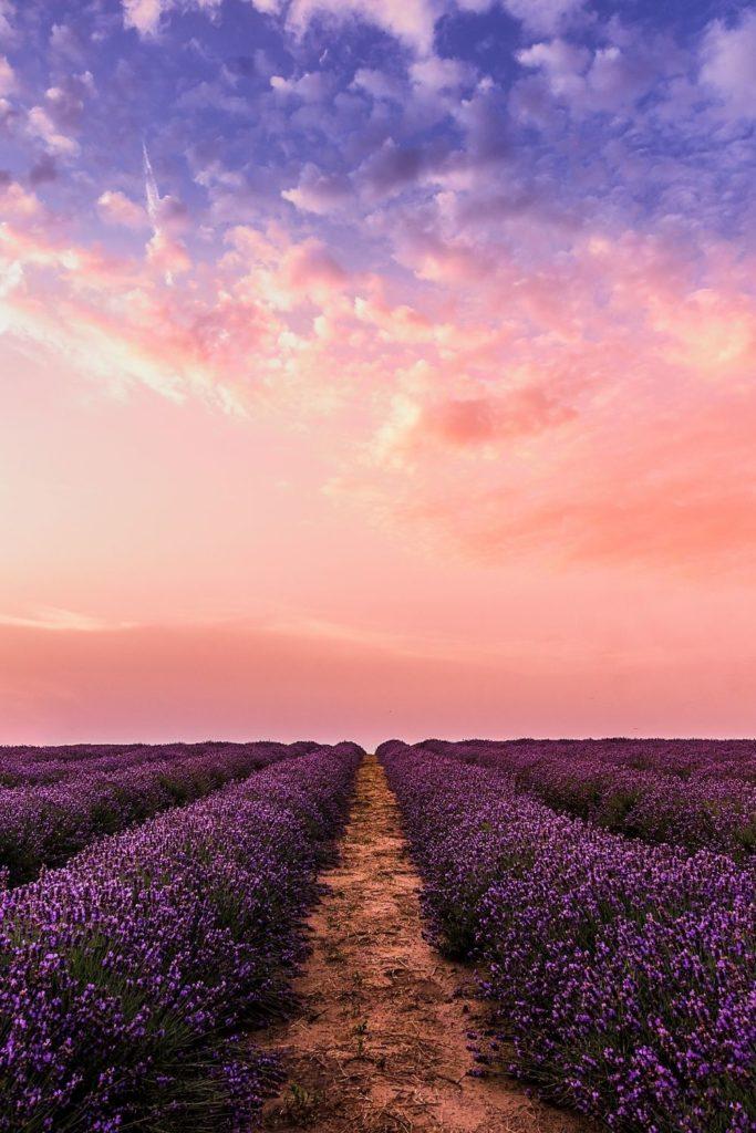 blumenfelder-lavender-lavendel-sonnenuntergang-sunset