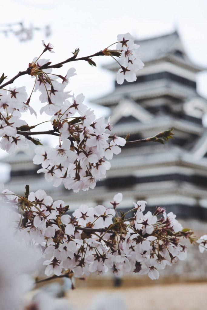 japan-sakura-cherry-blossom-spring-temple