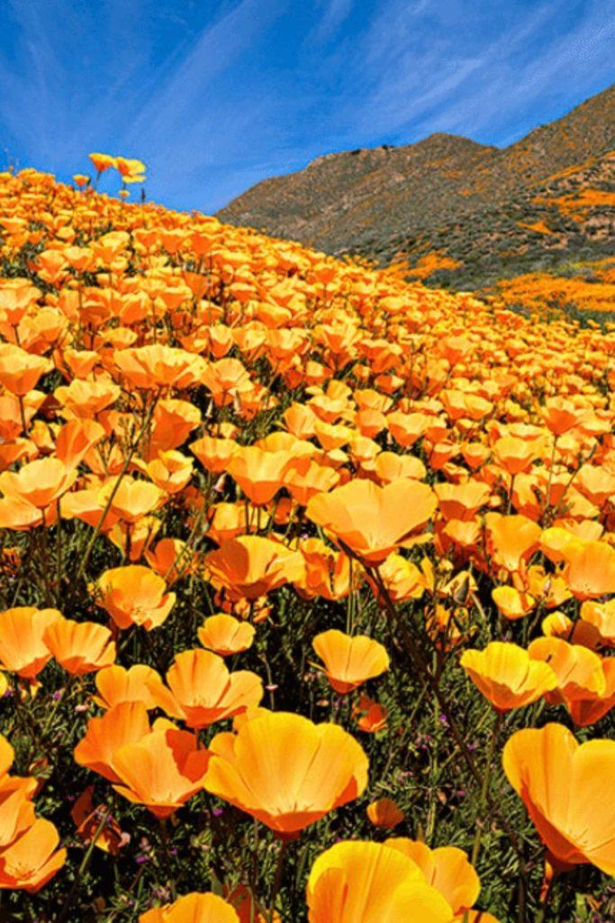 yellow-poppy-blossom-orange-california-kalifornien