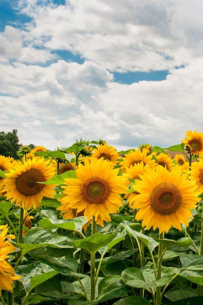 yellow-sunset-blossom-sunflowers-california-kalifornien