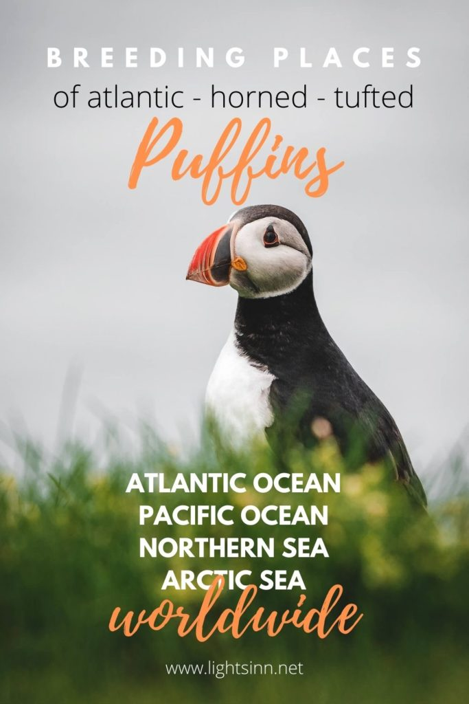 Puffins-atlantic-horned-tufted-puffins-worldwide